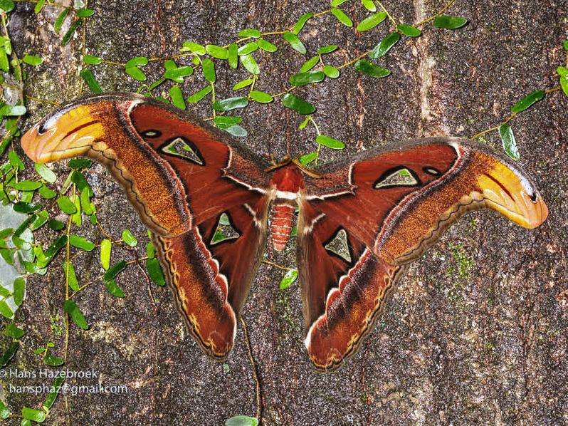 Atlas Moth At Ulu Ulu Ulu Ulu Wildlife