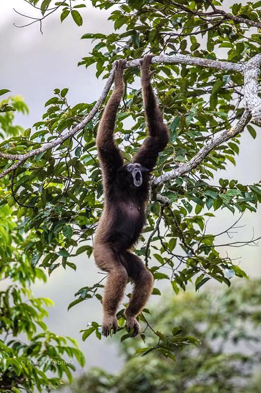 Hazebroek Gibbon Temburong 02 - Copy.jpg